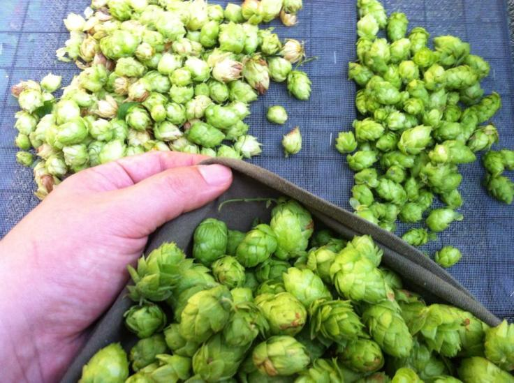 The hop harvest, courtesy of my friend Chris Mercherhill.