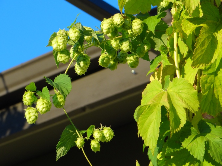 Hops growing in front of Crux Fermentation Project in Bend.