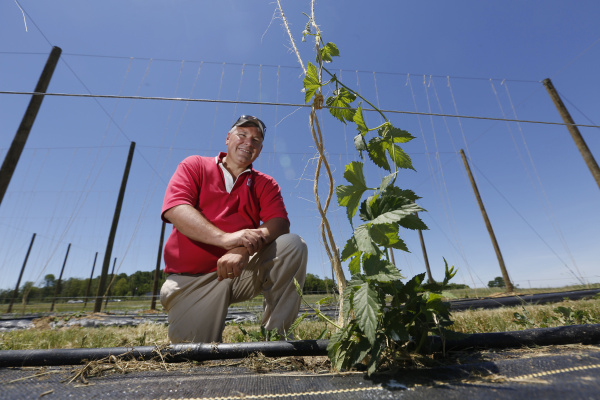 Ohio State University extension horticulturist Brad Bergefurd shows off a newly planted hops bine (cg) that will eventually climb to approximately 17 feet tall before being harvested for possible use by craft beer brewers.  The photo was taken in Piketon on June 4, 2013.  The small test planting consists of large poles strong with metal wire to which jute is attached for the hops bines to climb.