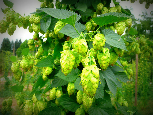 hops on the bine