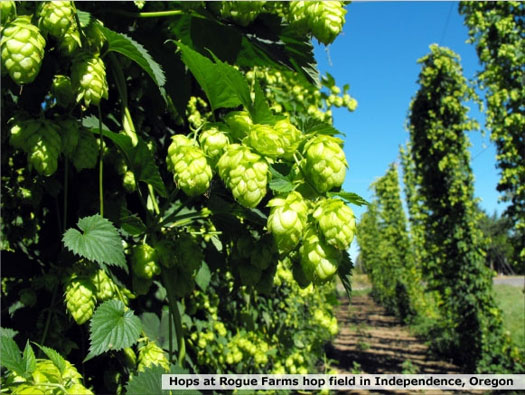 rogue-farms-hop-field