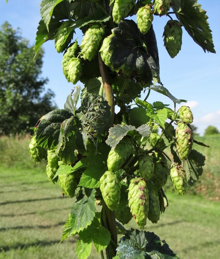 cascade hops at rustic brew farms