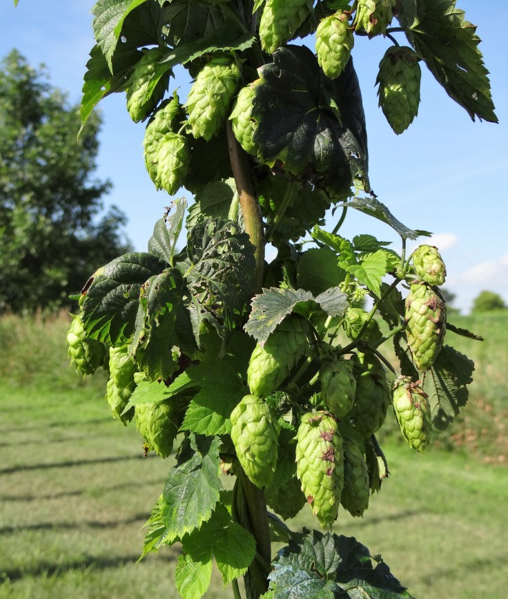 cascade hops at rustic brew farms